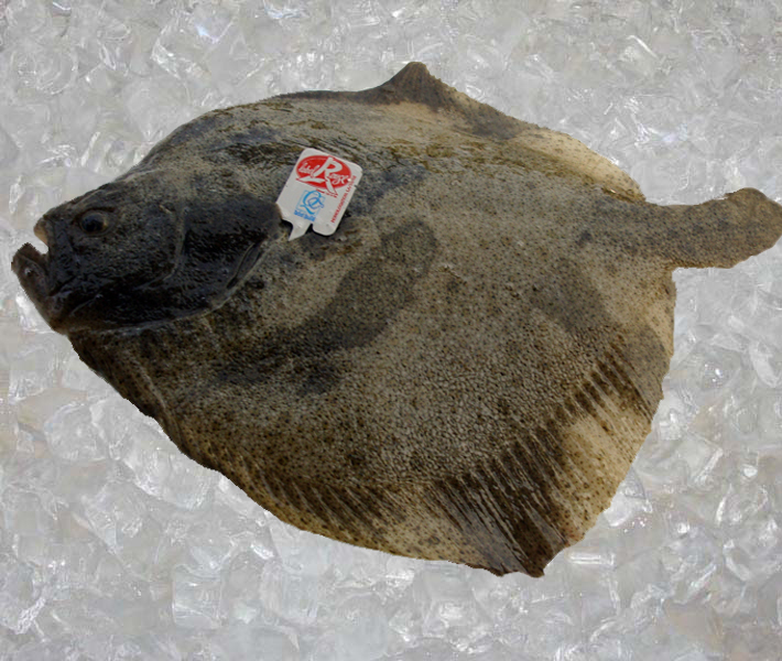 Seafood france farm raised turbot label rouge theodore for Turbot fish price