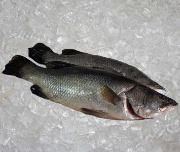 Saltwater Barramundi - Gutted