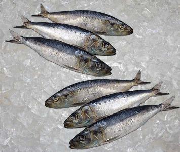 Sardine Atlantic
