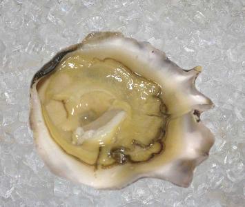 Sidney Rock Oyster