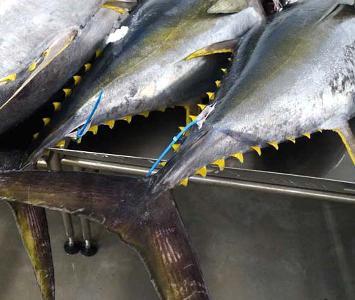 Yellowfin Tuna Whole